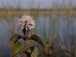 Menthe aquatique (Mentha aquatica)
